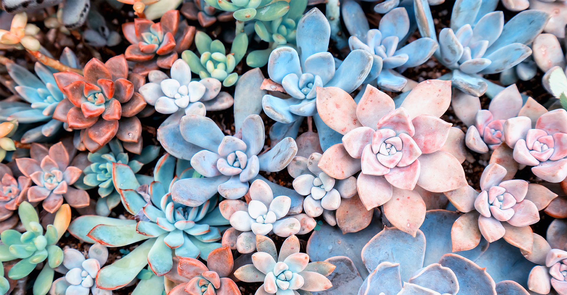 how-to-keep-succulents-alive-echeveria