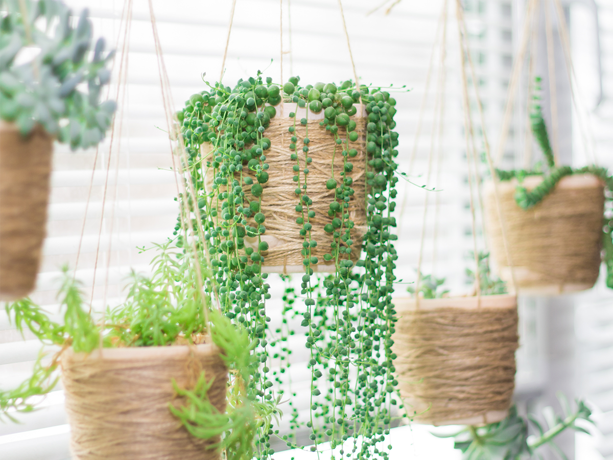 how-to-keep-succulents-alive-succulents-hanging-in-window